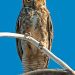 Great Horned Owl, photo by Mike Weissman